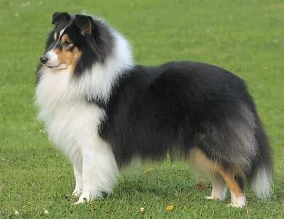 shetland sheepdog10021304.jpg