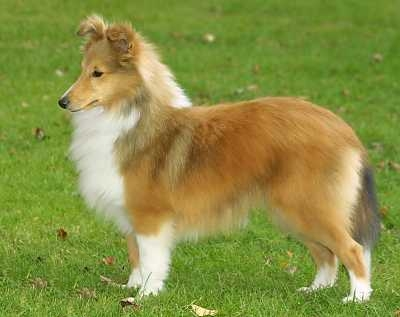 shetland sheepdog9021304.jpg