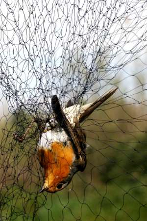 European Robin, Bird Flu, Spain [REUTERS 2006-03-14]; Image ONLY