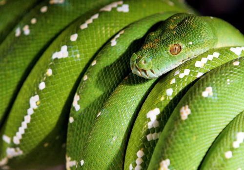 Green Tree Python, Malaysia.jpg