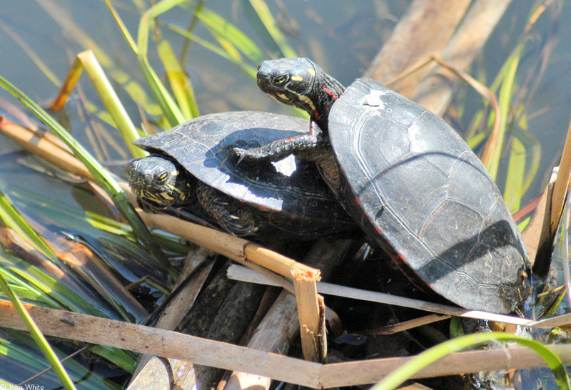 Late Winter Critters - Eastern Painted Turtle (Chrysemys picta picta)184; DISPLAY FULL IMAGE.