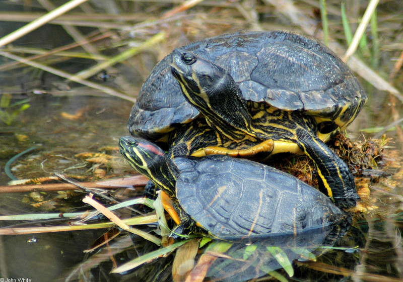 Late Winter Critters - Red-eared Slider with Yellow-bellied Slider; DISPLAY FULL IMAGE.