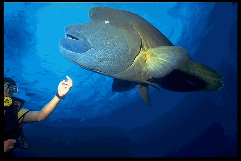 In Da Sea - Humphead Wrasse; Image ONLY