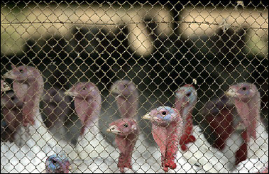 Domesticated Turkey Farm, Bird Flu, Israel [AFP 2006-03-18]; Image ONLY