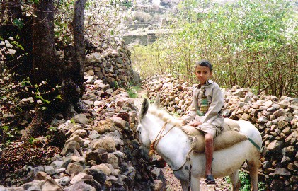 White Donkey in Yemen's mountains; Image ONLY