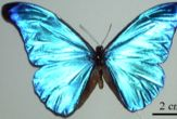 Slim Secret: Butterflies Burn Fat in Cocoon [LiveScience 2006-03-21]; Image ONLY