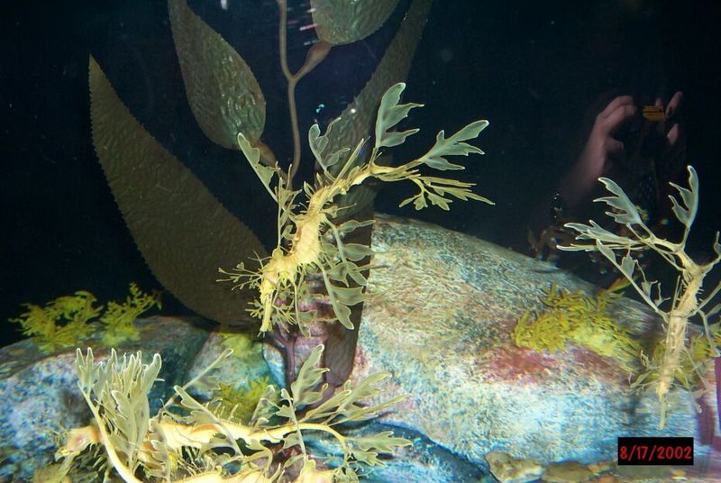 Leafy Sea Dragons; DISPLAY FULL IMAGE.