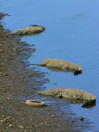 American Crocodiles, Water Pollution, Costa Rica [REUTERS 2006-03-22]; Image ONLY