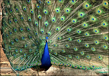 Indian Peafowl, Guatemala [AFP 2006-03-20]; Image ONLY