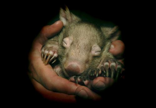 Female Common Wombat Baby, Australia.jpg