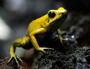 Golden Poison Frog (Phyllobates terribilis), Switzerland [REUTERS 2006-03-22]; Image ONLY