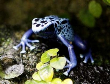 Blue Poison Frog (Dendrobates azureus), Switzerland [REUTERS 2006-03-22]; Image ONLY