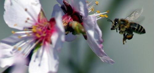 Honeybee, Bulgaria.jpg