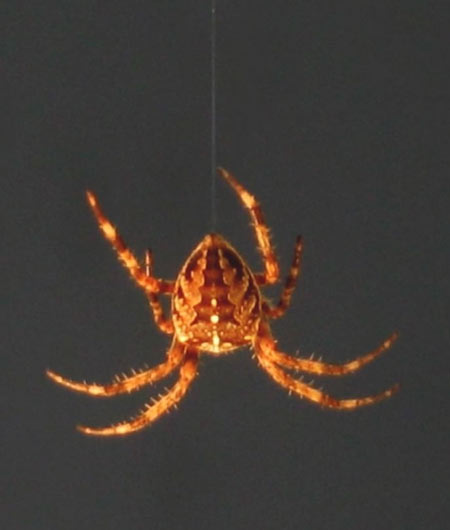 Why Spiders Don't Do the Twist [LiveScience 2006-03-29]; Image ONLY