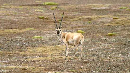 Rare Tibetan Antelope Listed As Endangered [ScienceDaily 2006-03-30]; Image ONLY