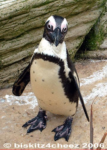 Penguin; Image ONLY