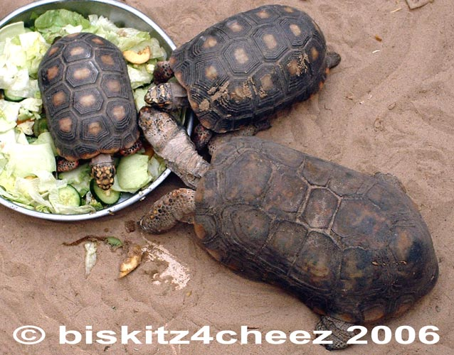 Tortoises; Image ONLY