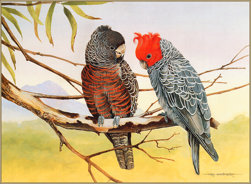 [Eric Shepherd's Beautiful Australian Birds Calendar 2003] Gang-Gang Cockatoo; DISPLAY FULL IMAGE.