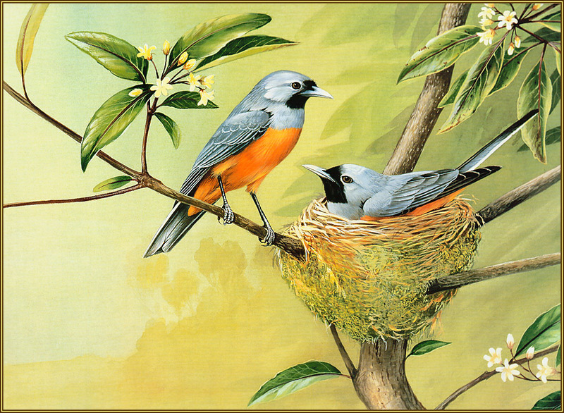 [Eric Shepherd's Beautiful Australian Birds Calendar 2003] Black-Faced Monarch; DISPLAY FULL IMAGE.