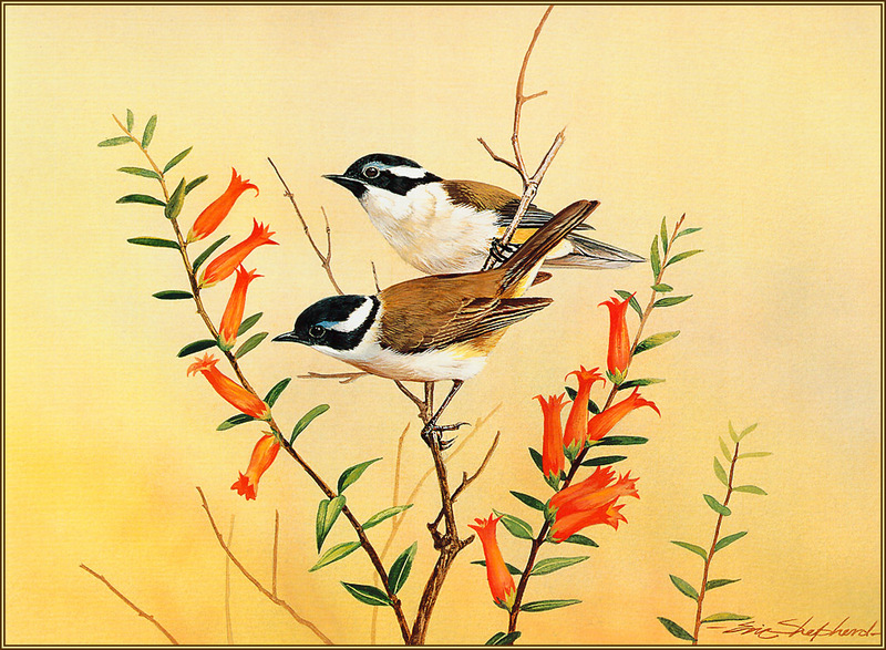 [Eric Shepherd's Beautiful Australian Birds Calendar 2003] Black-Capped Honeyeater; DISPLAY FULL IMAGE.