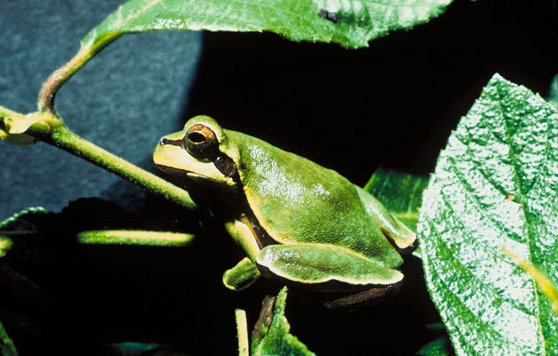 Why Frogs are Green [LiveScience 2006-04-03]; Image ONLY
