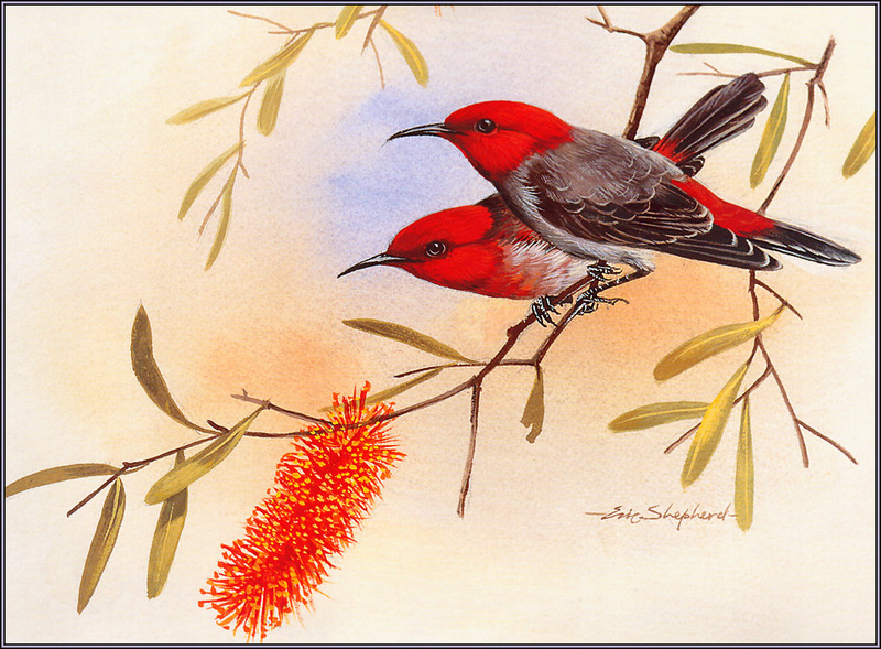 [Eric Shepherd's Australian Birds Calendar 2003] Scarlet Honeyeater; DISPLAY FULL IMAGE.