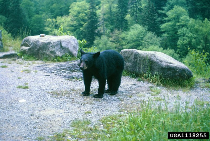 American Black Bear (Ursus americanus) <!--아메리카흑곰-->; DISPLAY FULL IMAGE.