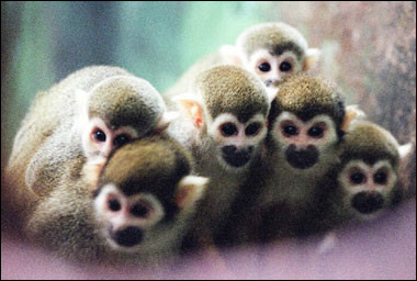 Squirrel monkeys in a zoo [AFP 2006-04-05]; Image ONLY