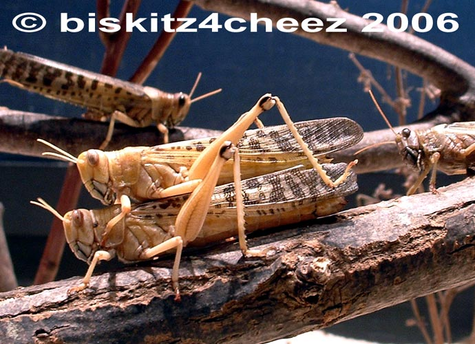 Locusts; Image ONLY
