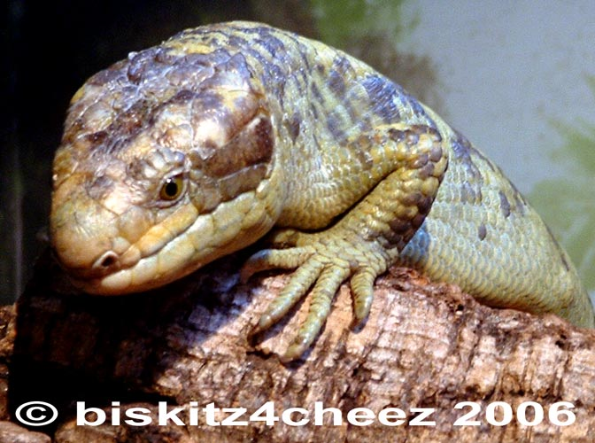 Monkey-tailed Skink; Image ONLY
