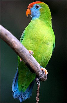 New Parrot Species, Philippines [AFP 2006-04-07]; Image ONLY