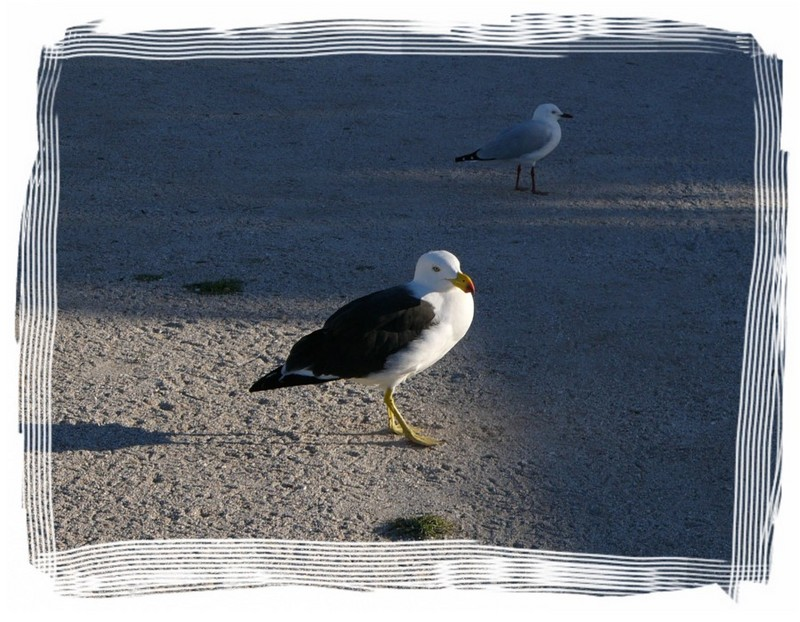 seagulls - Pacific Gull (Larus pacificus) & Silver Gull; DISPLAY FULL IMAGE.