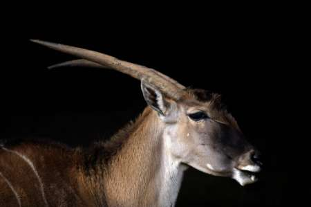 Common Eland(Taurotragus oryx), Spain [REUTERS 2006-04-11]; Image ONLY