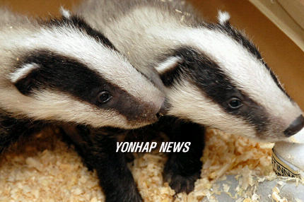 Baby European Badgers, Hungary [AP연합 2006-04-12 23:15]; Image ONLY