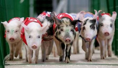 Piglets in Race, Pig Olympics, Russia [REUTERS 2006-04-12]; Image ONLY