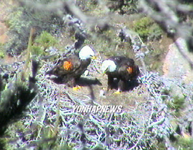 Bald Eagles, USA [AP 2006-04-14 10:18]; Image ONLY