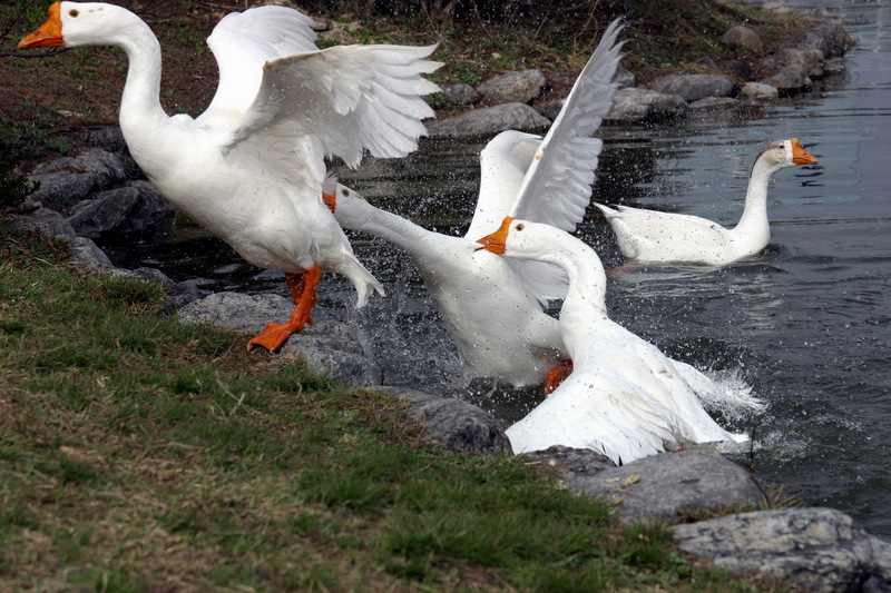 Fighting Swan Geese; DISPLAY FULL IMAGE.