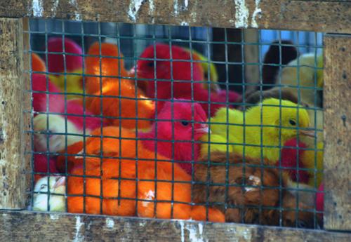 Color Chickens, Pakistan.jpg