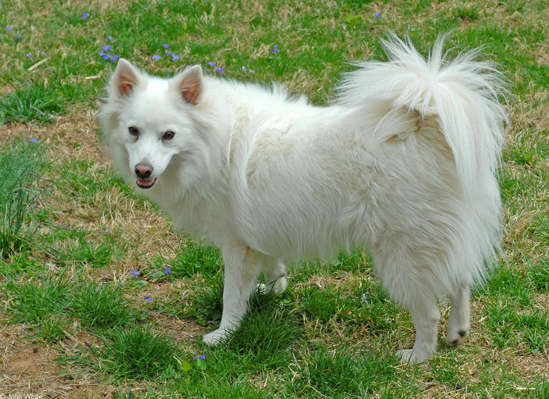 American Eskimo Dog; DISPLAY FULL IMAGE.