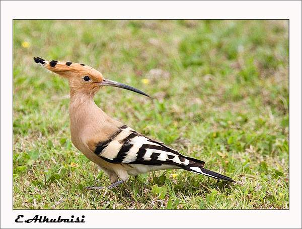 Hoopoe; Image ONLY
