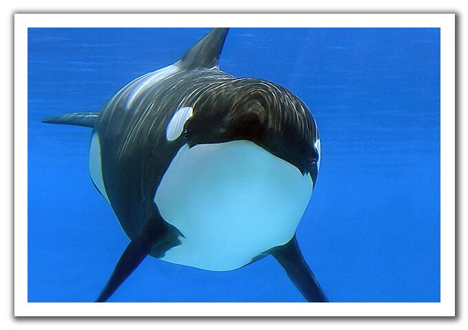 0406 orca.jpg