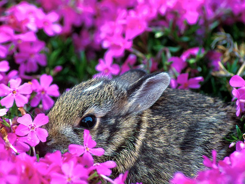 Baby Eastern Cottontail Rabbit, Indiana; DISPLAY FULL IMAGE.