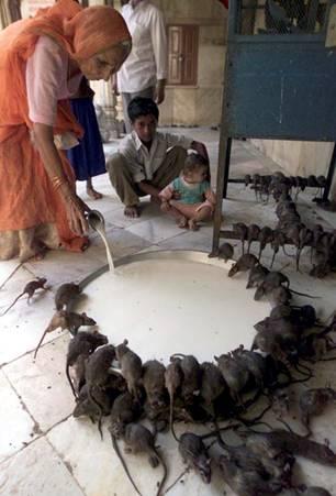 Rats, India.jpg