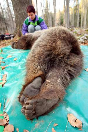Bear Translocation, Slovenia [REUTERS 2006-04-25]; Image ONLY
