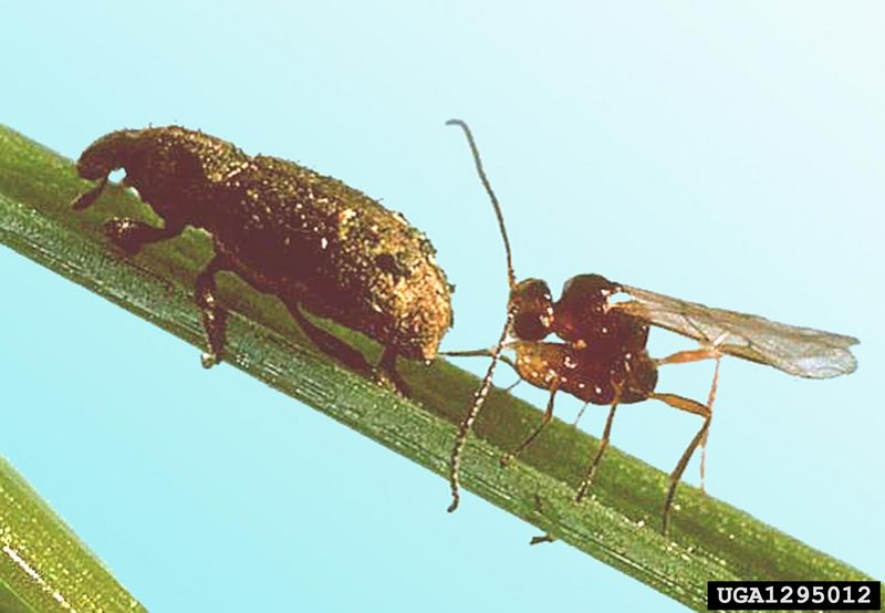 Parasitoid Wasp (Microctonus hyperodae) <!--기생벌류-->; DISPLAY FULL IMAGE.
