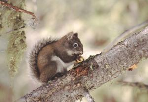 Computers To Save Unique Type Of American Red Squirrel [ScienceDaily 2006-04-27]; Image ONLY