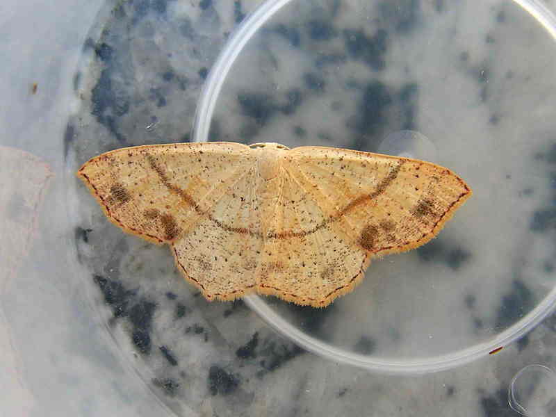 Moth. Vela????a. Cyclophora punctaria; DISPLAY FULL IMAGE.