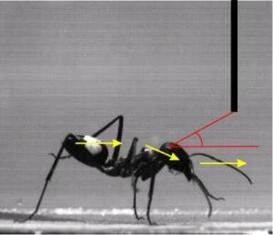 How Low Can You Go? Ants Learn To Limbo [ScienceDaily 2006-04-30]; Image ONLY