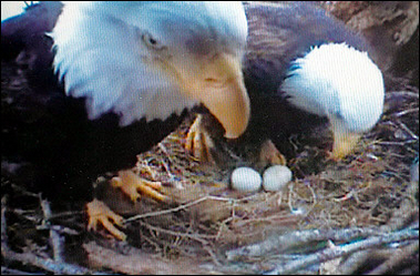 Bald Eagles guarding eggs, Canada [AFP 2006-05-06]; Image ONLY
