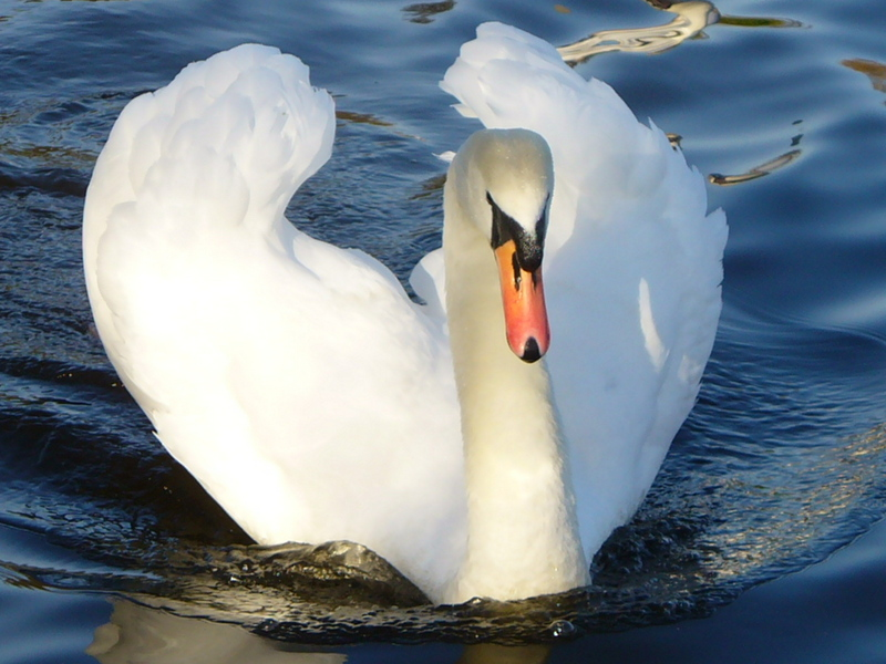 Mute Swan taken @ Hammonds Pond, Carlisle Cumbria; DISPLAY FULL IMAGE.